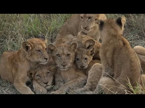 WE SafariLive- Cold Cute Cubbies! The Nkuhuma Lions On A Chilly Morning.