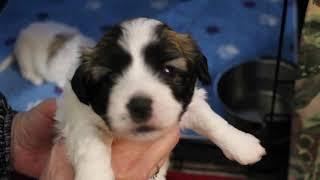 Coton Puppies For Sale - Kiwi 1/27/21