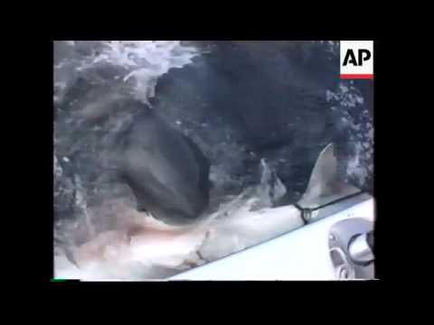 ITALY: GREAT WHITE SHARK SIGHTED OFF COAST OF RIMINI