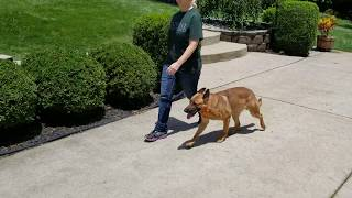 K9 Glock, Off Leash Obedience, K9 Unleashed, Personal Protection Dog
