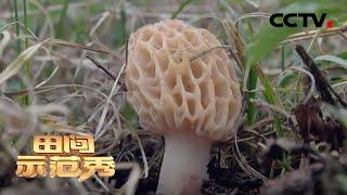 《田间示范秀》羊肚菌的出菇学问 20200522 | CCTV农业