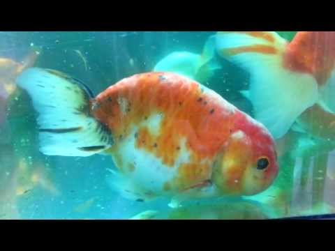 Identifying and Treating Costia/Protozoan Parasites on Goldfish