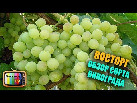 Велес форум виноград