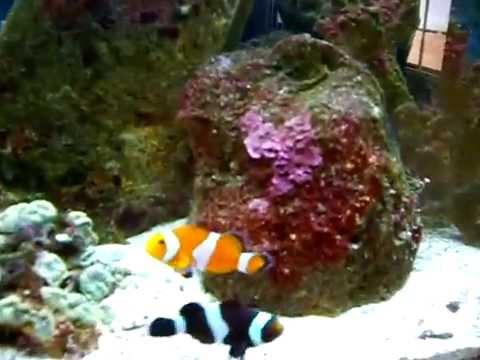 Acuario marino nano 20 galones mundo de los peces cali for Peces de acuario marino