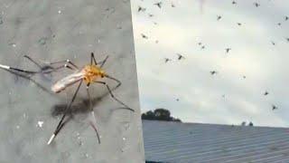 Monster Mosquitoes Plague North Carolina Following Hurricane Florence