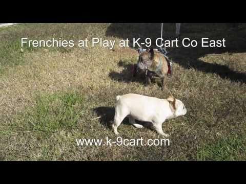 French Bulldog In A K-9Cart.com Dog Wheelchair
