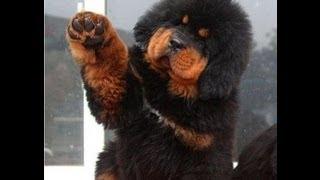 Tibetan Mastiff / Тибетский мастиф / До хи / Тибетский дог