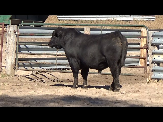 Connealy Angus Lot 28