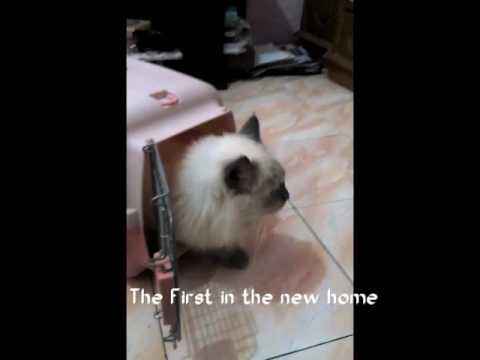 Hurayra Birman Cat - The First in the new home