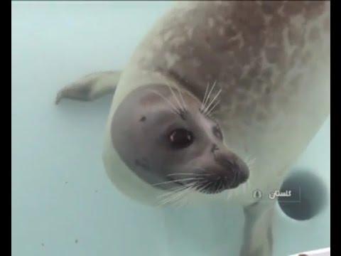 Iran Golestan province, Caspian seals treatment درمان فك درياي خزر استان گلستان ايران