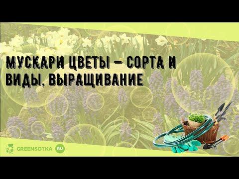 Мускари цветы — сорта и виды, выращивание