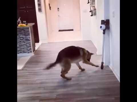 German shepard dog gets a fright