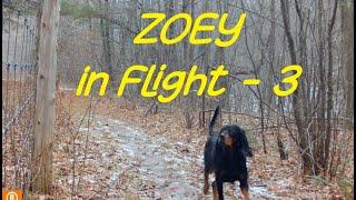 Zoey in Flight   3  Gordon Setter
