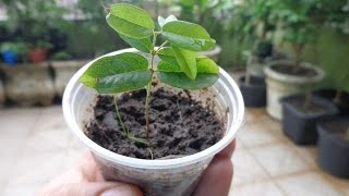 Como produzir mudas de jabuticaba através de sementes.