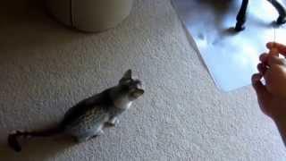 Египетская кошка мау - священное животное Древнего Египта