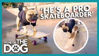 E-Rock the Skateboarding Bulldog   Britain's Favourite Dogs