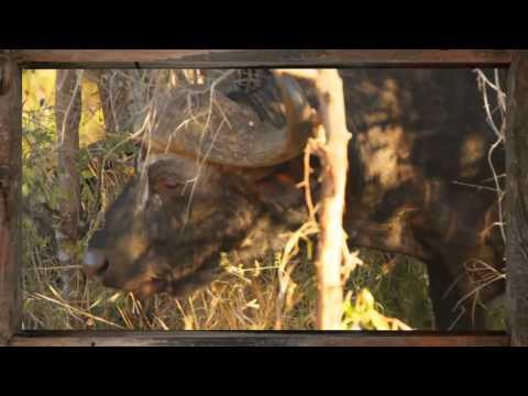 Wildlife - Buffalo