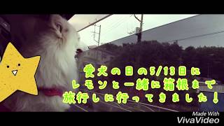 日本スピッツ〈愛犬の日に旅行に行きました〉japanesespitz Lemon   わ...