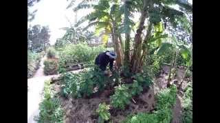 My Yard Farm grows Katuk at Whisper Creek Farms, Orlando Florida