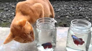Video Kucing vs. Ikan Cupang download MP3, 3GP, MP4, WEBM, AVI, FLV Januari 2018