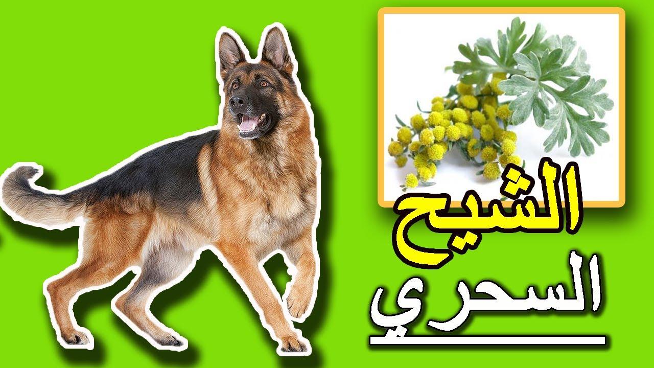 أهمية الشيح في حياة الكلاب .. سوف تشتريه فوراً
