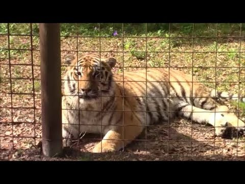 My Trip To Big Cat Rescue In Tampa Florida - Big Cat Rescue From Tiger King On Netflix