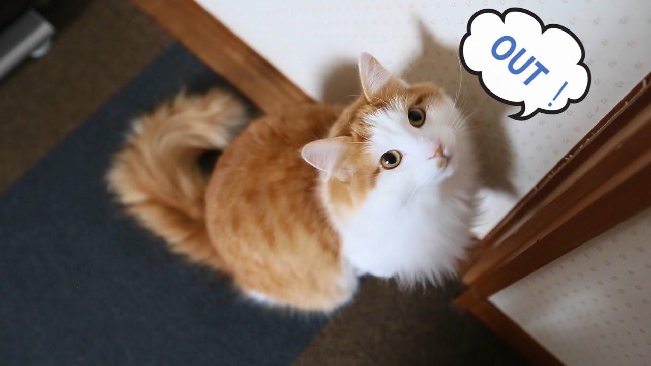 部屋の外で遊びたい! 甘える猫の鳴き声 茶白猫ルーさん 白い猫サラ ノルウェージャンフォレストキャット Norwegian Forest Cat  Weegie