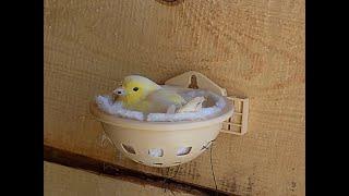 kanarek siedzi na jajkach w nowej wolierze