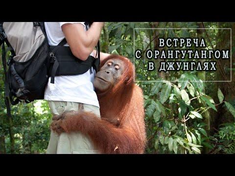 детеныши орангутана видео