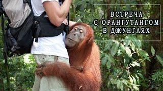 В объятиях орангутанга. Орангутанг джунглях Суматры