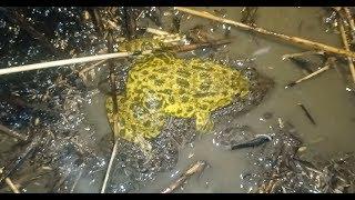 Soi Ếch Chạy Đồng Đêm Soi Bắt Toàn ếch Cặp