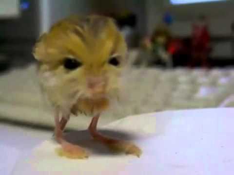 pygmy jerboa cute Pet ...