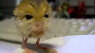 pygmy jerboa cute Pet lovely
