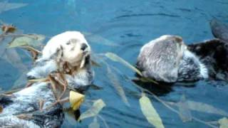 Cute otters caress and kiss each other