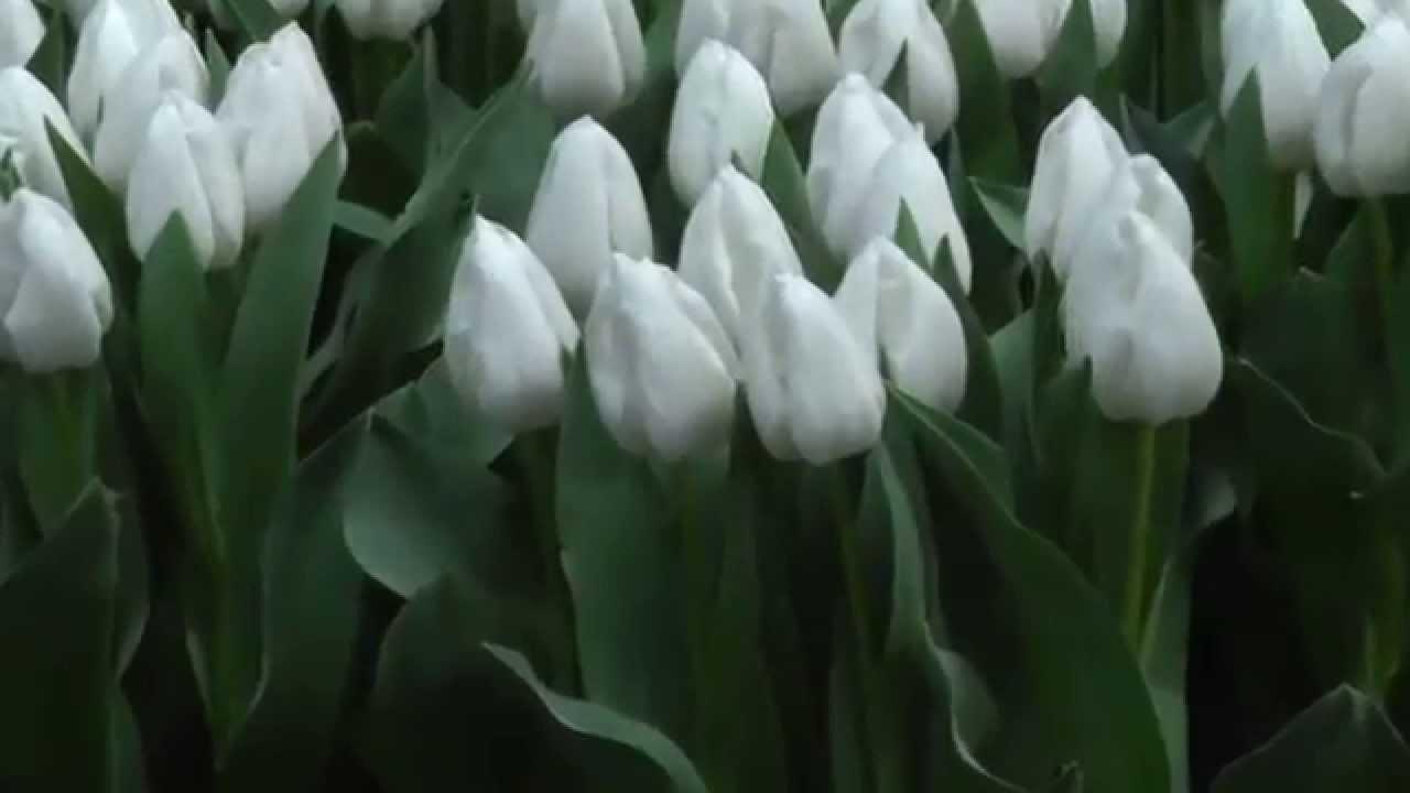 Tulip Ice Cap White Tulips Flower Bulbs Youtube