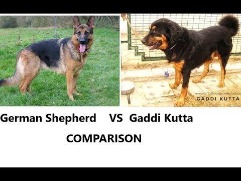 Gaddi dog vs German shepherd, gaddi dog breed in india