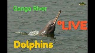 Ganga River Dolphins! Live- गंगा नदी डॉल्फिन🐬🐬