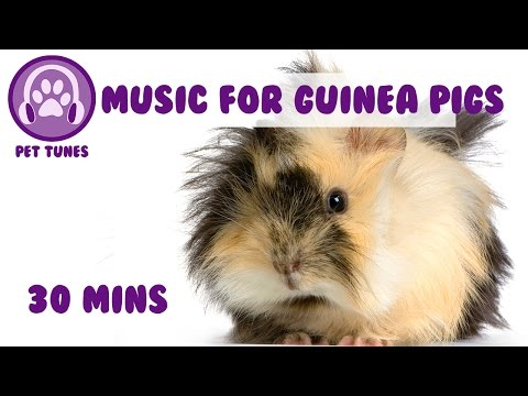 Music for Guinea Pigs! Calming and Soothing Music for Piggys, Make Your Pig Vibrate with Happiness!