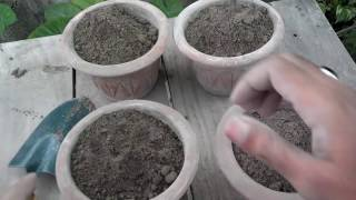 how to grow red sunflowers from seeds   planting a sunflower   start to end   urdu hindi