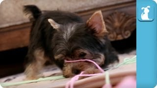Hilarious Yorkie Puppies Attack Rolls Of Yarn - Puppy Love