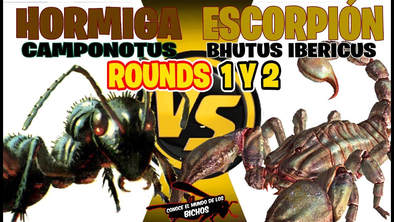 ESCORPIÓN VS HORMIGA CAMPONOTUS - ROUNDS 1 Y 2