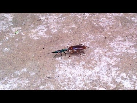 Zombie Cockroach Guided by Jewel Wasp