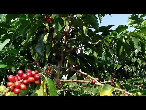 Coffee industry looks to combat challenges with research