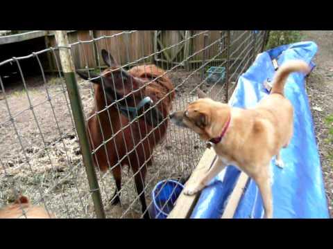 Dog meets Llama at Tree House B&B Point Reyes CA