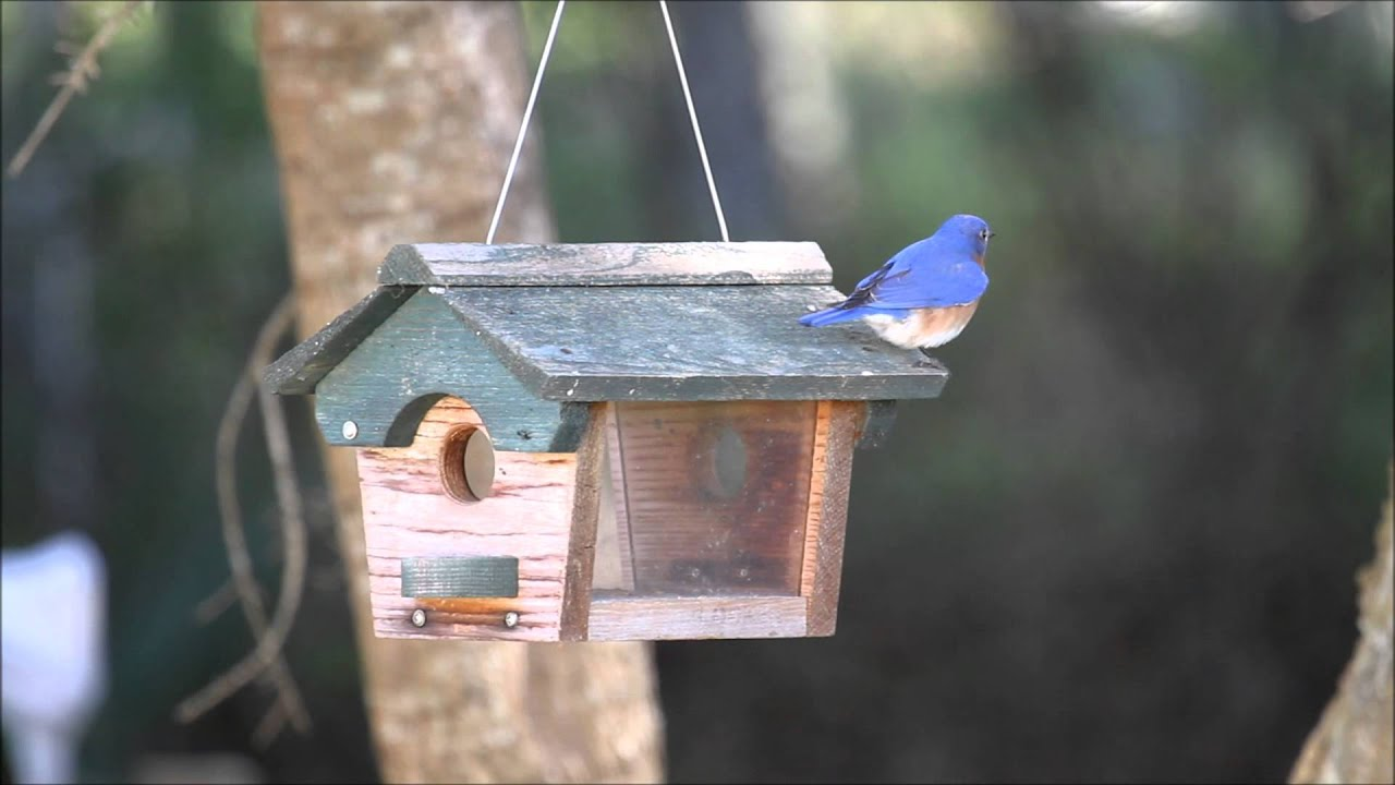 feeder footage female blue and video videoblocks feeding stock feeders male together bird bullfinches on