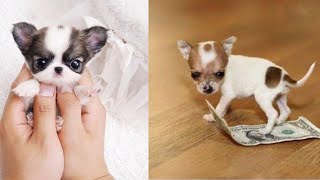 Cutest Teacup Puppies Video Compilation || Funny and Cute Dog #4