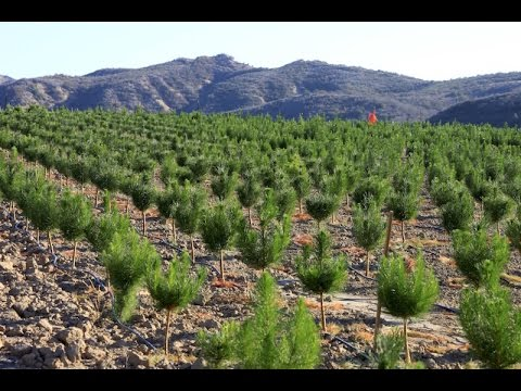 Raising Christmas Trees: How A Family-Run Christmas Tree Farm Grows Its Trees