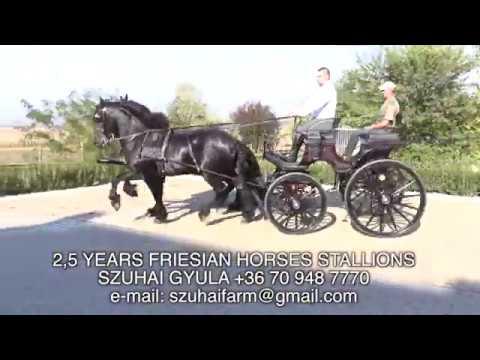 FRIESIAN HORSES FOR SALE  FRÍZ LOVAK ELADÓK  SZUHAI GYULA