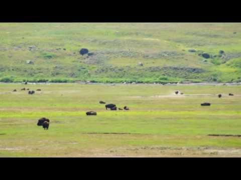 Lamar Valley Bison - Yellowstone National Park