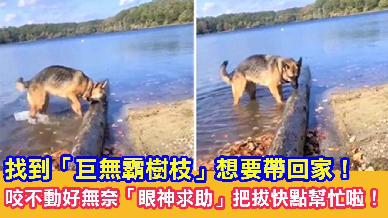 找到「巨無霸樹枝」想要帶回家!狗狗無奈「眼神求助」:把拔快點幫忙啦!|狗狗搞笑